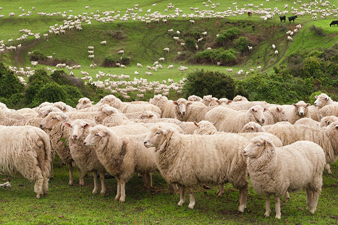 Flock Of Sheep, Canterbury Plains