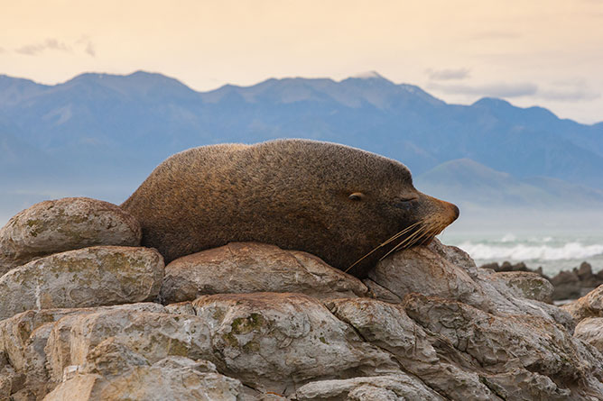 Fur Seal Sleeping, Kaikoura